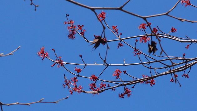 ハナノキ開花