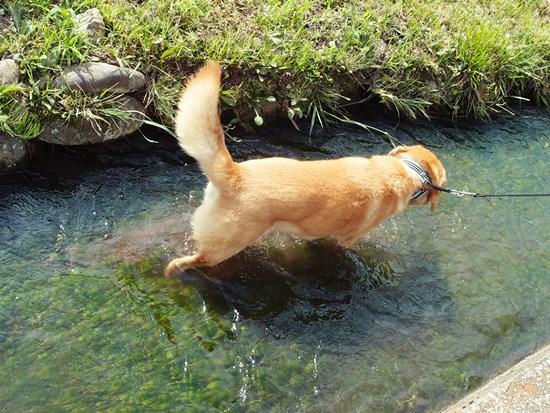 バイカモの自生する水路