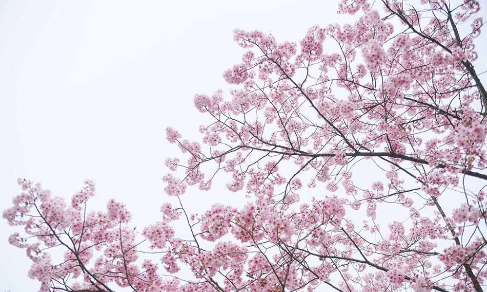 PAK75_yaebenisakura20130323500.jpg