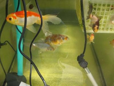 新たに金魚