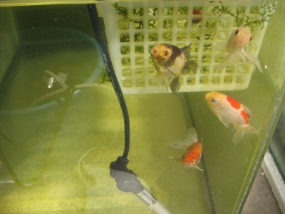 7匹の金魚