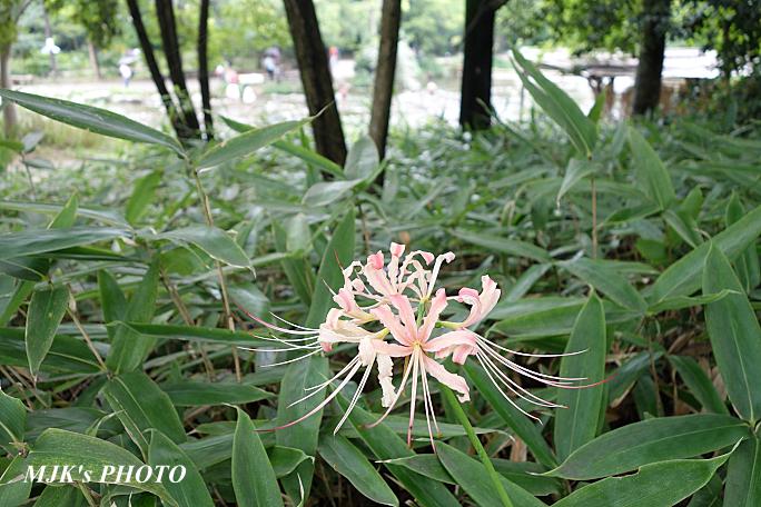 higanbana4432.jpg