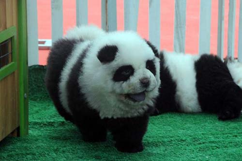 Panda-dog.jpg