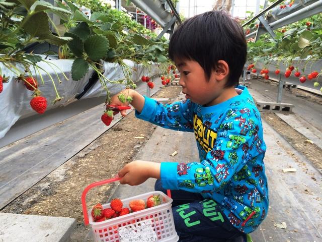 イチゴを摘んでいく陸ちゃん