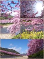 河津桜まつり2014