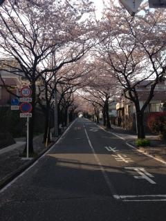 団地の中の桜