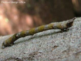 擬態昆虫5